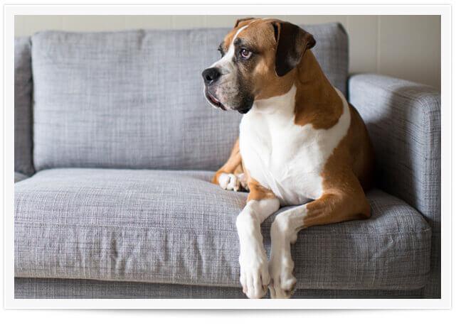 dog on couch santa monica